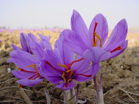 فوائد أزهار الزعفران