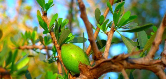 ثمرة شجرة الأركان