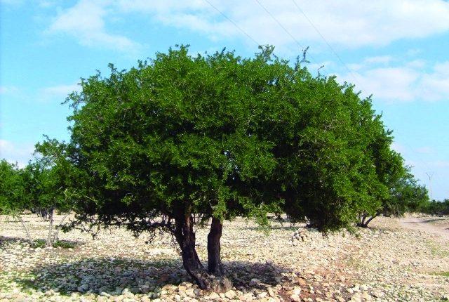 شجرة الأركان