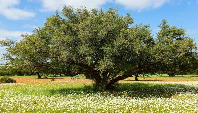 شجرة الارجان
